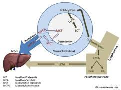 Fettstoffwechsel MCT 2014-08-29