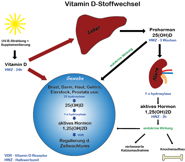 Vitamin D-Stoffwechsel, Quelle DSGIP