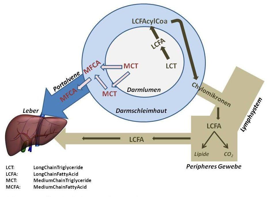 Fettstoffwechsel und MCTs –aus Faktenblatt Zucker und Multiple Sklerose
