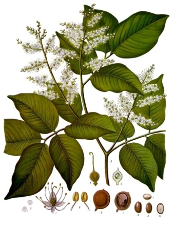 Copaifera_officinalis_-_Köhler–s_Medizinal-Pflanzen-047